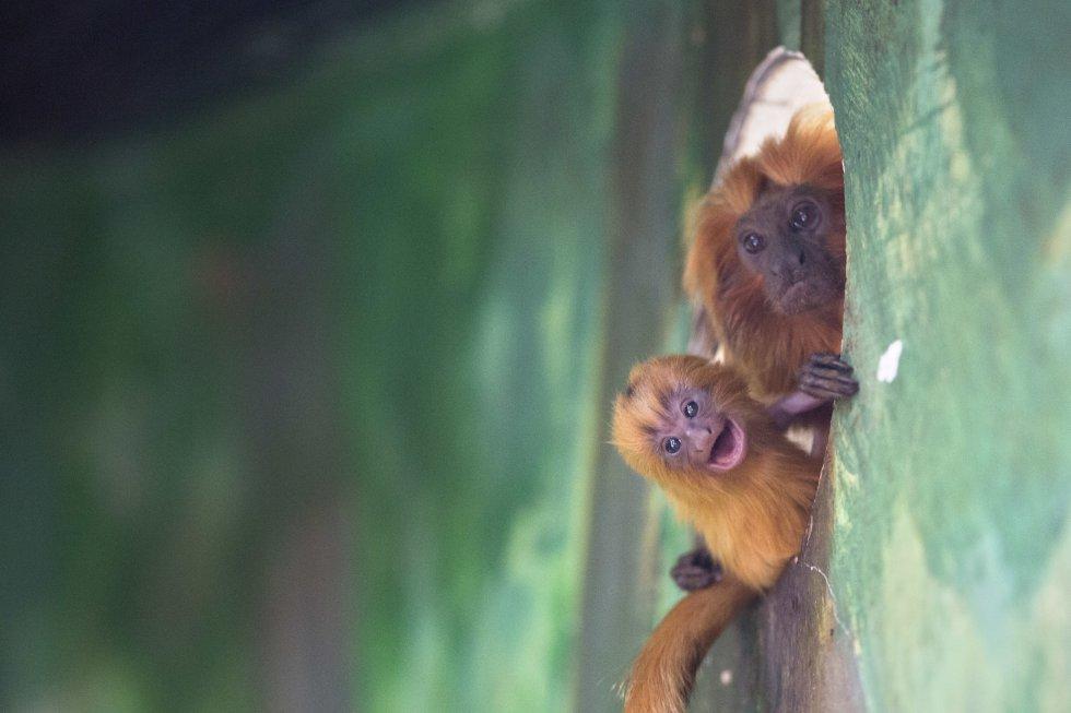 Un mono tamarino león dorado sostiene a su bebé recién nacido en un zoológico en Jerusalén.