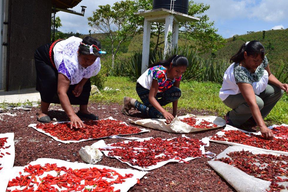 """""""El chile es uno de los principales productos consumidos diariamente en México. La comunidad nahua de Tlaola produce tradicionalmente el chile serrano entre los meses de abril y junio. Los chiles rojos se dejan madurar en la planta y se secan bajo el sol. Se cultivan de manera agroecológica y luego los transforman en diferentes tipos de salsas para generar una alternativa económica para las mujeres, promoviendo un sabor ancestral bueno, limpio y justo que además comparten y pretenden heredar las futuras generaciones""""."""