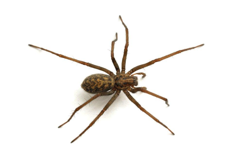 picadura araña