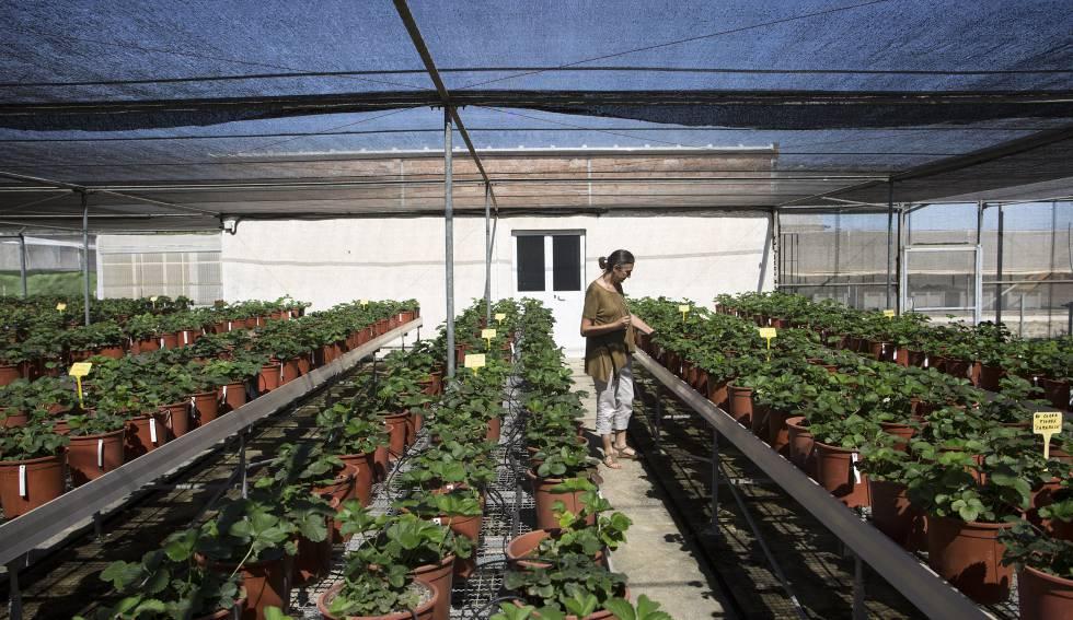El laboratorio que domestica a la fresa