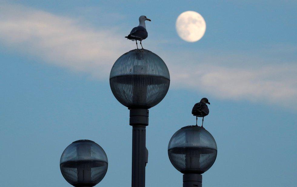 Gaviotas posadas en las farolas de la Promenade des Anglais mientras la luna se levanta en Niza (Francia).