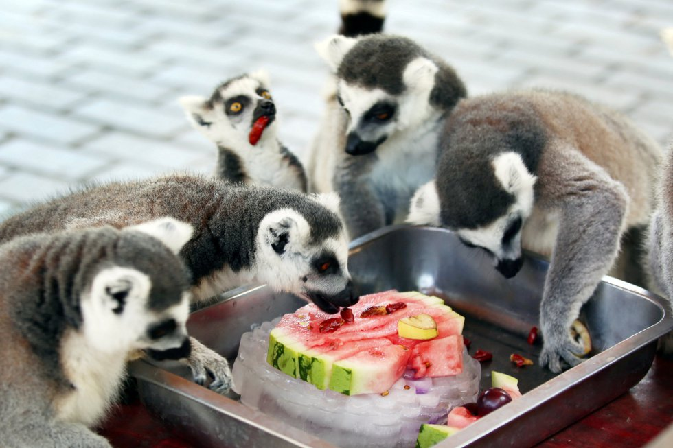 Lemures de cola anillada comen una rebanada de sandía en hielo en un zoológico de Changzhou (China).