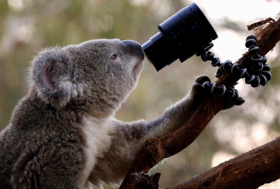 Un Koala australiano mira una cámara mientras se encuentra sobre una rama en su recinto en el zoo Wild Life de Sydney (Australia).