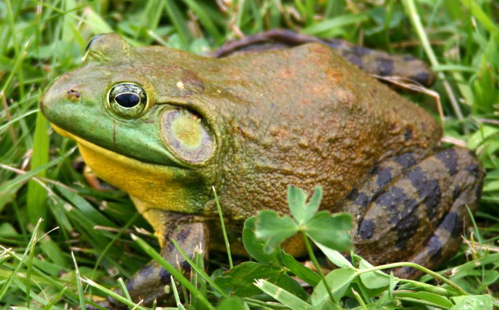 La rana toro, una de las especies invasoras más agresivas, se reproduce por primera vez en España