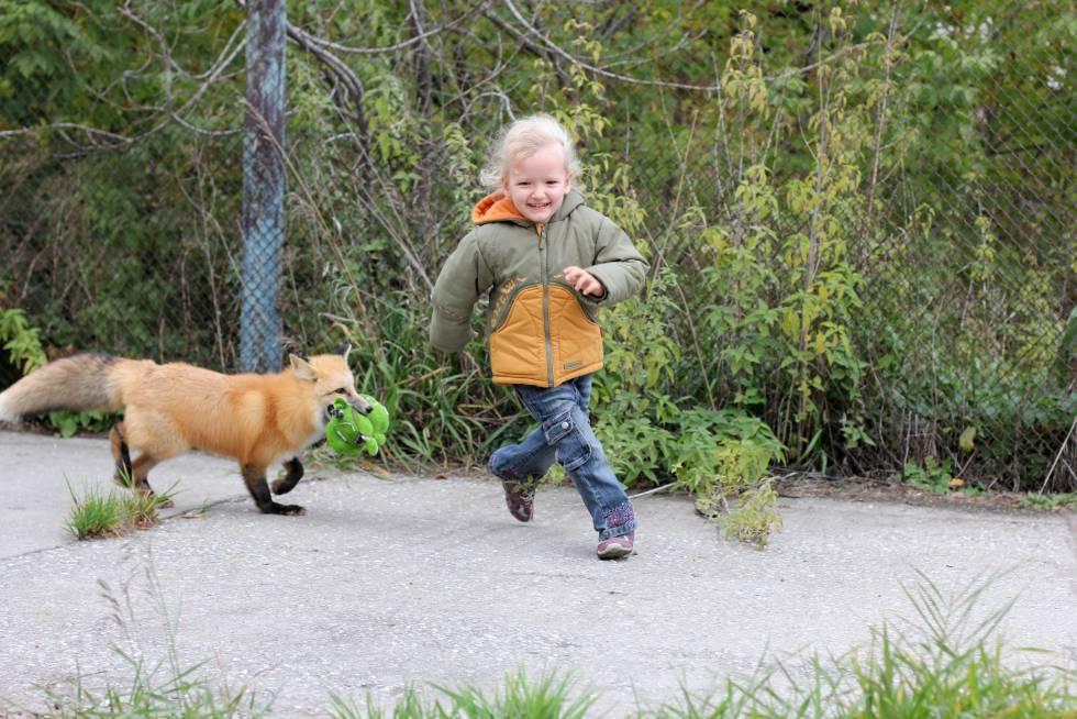 Cómo convertir zorros salvajes en dóciles perritos