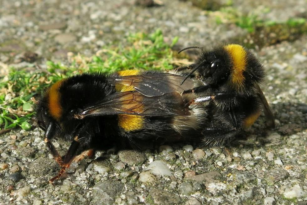 Nuevos pesticidas alternativos a los neonicotinoides también son un riesgo para las abejas