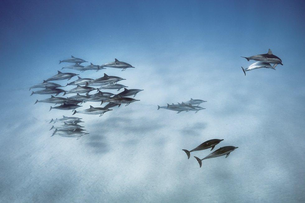 Delfines giradores (Stenella longirostris) en las aguas de Oahu, Hawai.