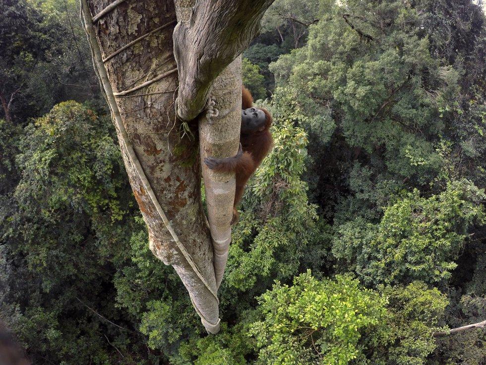 Un orangután de Borneo trepa por el tronco de una higuera estranguladora para intentar coger el fruto del árbol.