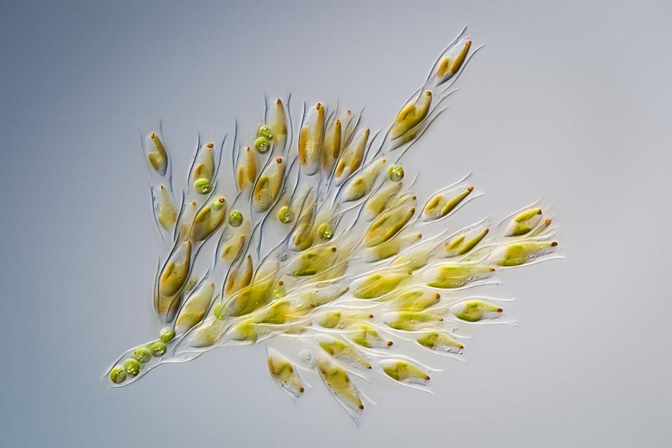 'Dinobryon Divergens', comumente conhecido como alga dourada. Mede aproximadamente 0,05 milímetros de longitude, vive em lagos de todo mundo e forma colônias compostas por entre 6 a 50 células que estão rodeadas por uma camada de celulose com forma de jarra.
