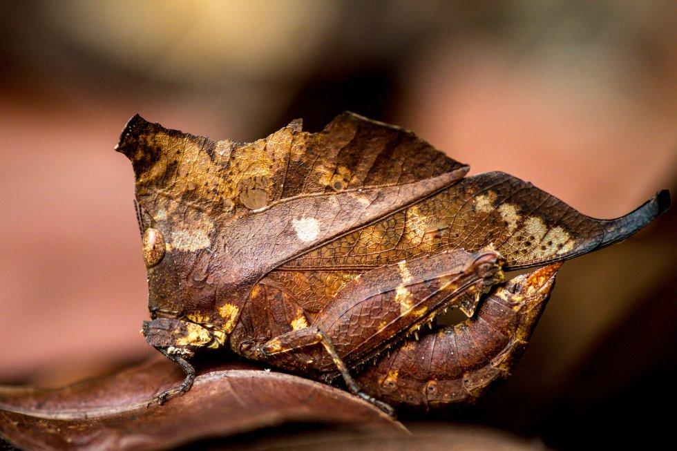 Um gafanhoto se camufla em uma folha seca.