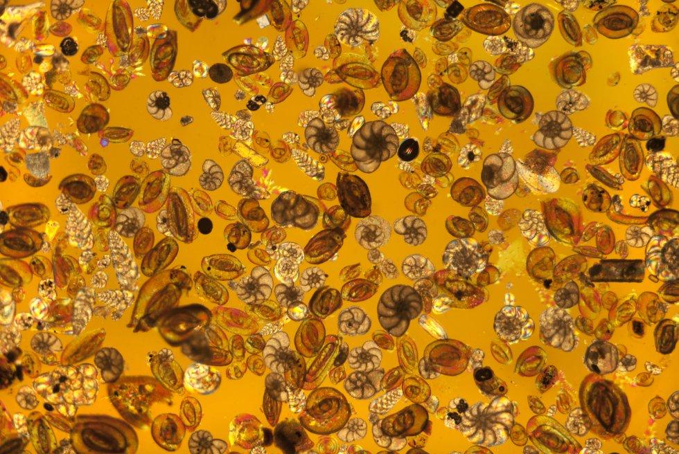 Uma ampla variedade de foraminíferos (protozoários) fotografados utilizando uma lente microscópica de luz polarizada. Os foraminíferos são 'protistas ameboides' unicelulares. Vivem dentro de uma concha, que se compõe de uma só câmara ou várias câmaras e o protoplasma se espreme através dos orifícios da concha para facilitar a alimentação. As conchas destas pequenas criaturas formaram grandes depósitos de pedra calcária.