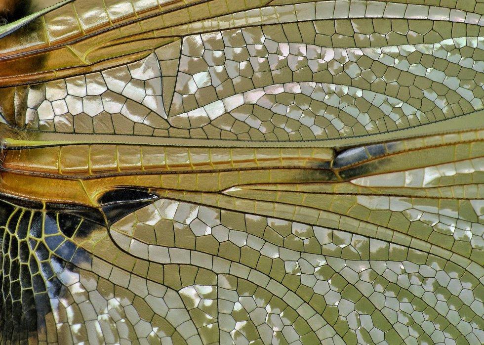 Detalhe da asa de quatro pontas de uma libélula Chaser.