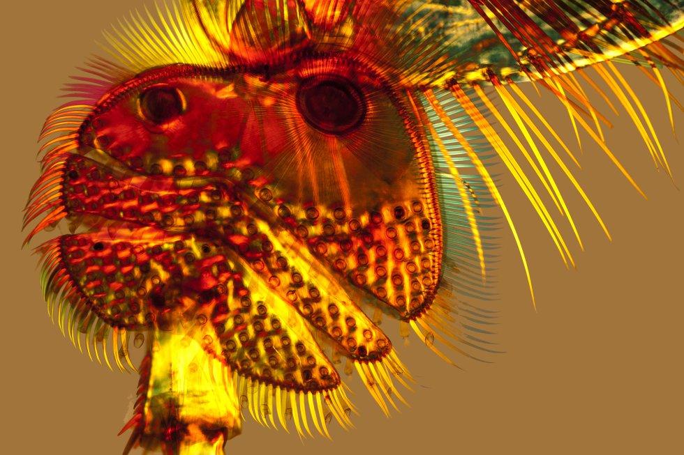 Micrografía com luz polarizada dos rebentos que se encontram no tarso da pata dianteira dos grandes besouros zambullidores ('Dytiscus marginalis'). Servem para que o macho e a fêmea se unam durante o acasalamento.