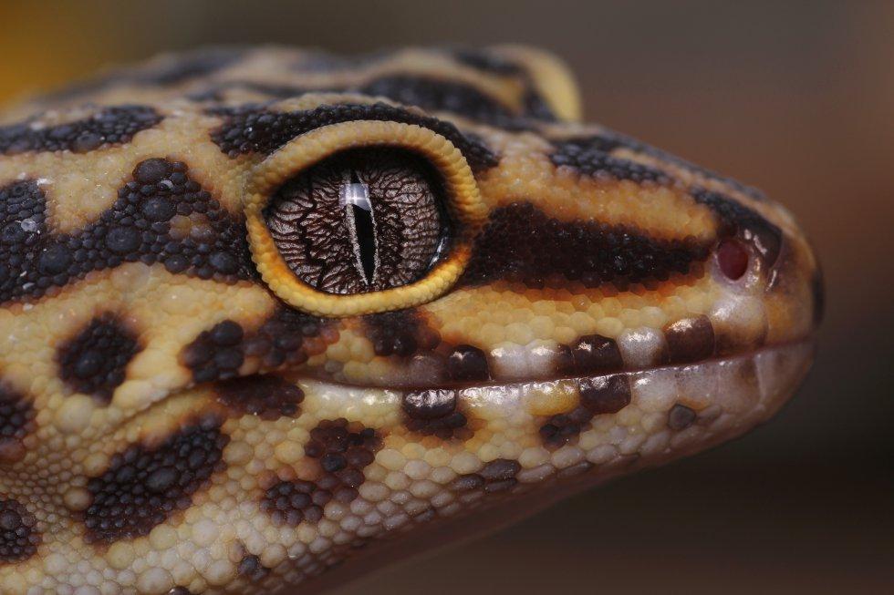 Um gecko leopardo observa fixamente a lente que está tirando sua fotografia.
