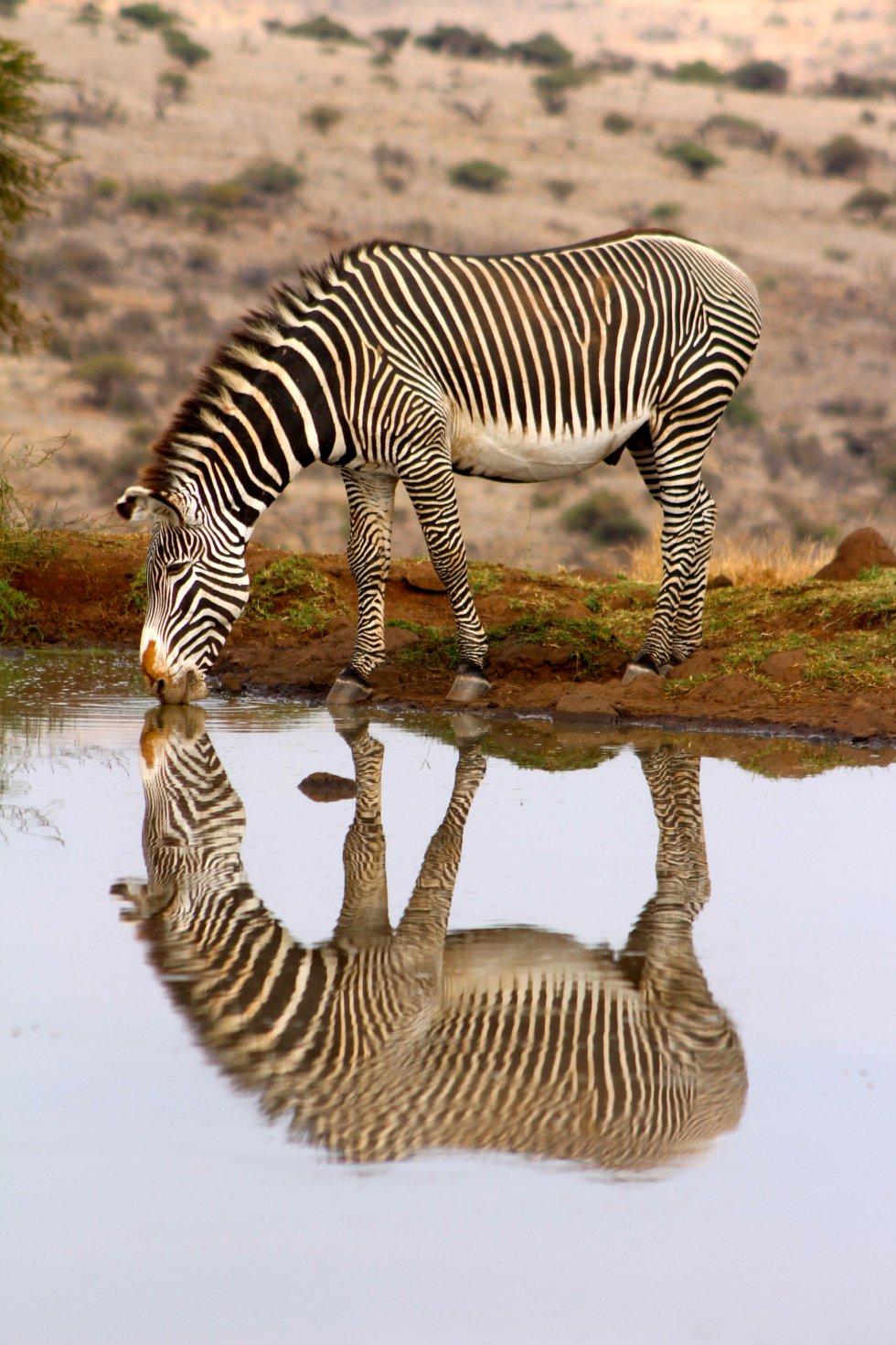 Esta imagem mostra uma zebra tomando uns goles em um lago.