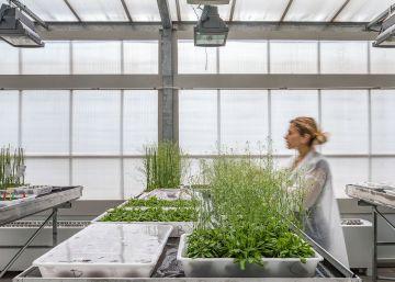 El Centro de Investigación en Agrigenómica crea plantas resistentes a la sequía más extrema