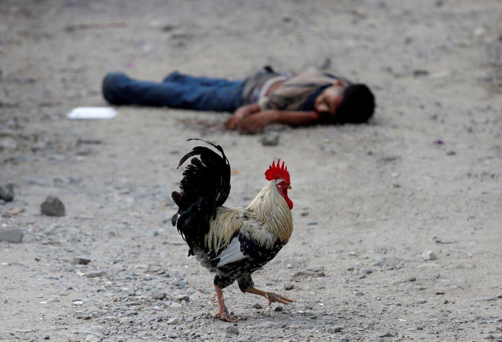 Un gallo camina junto al cadáver de un joven, miembro de la pandilla Barrio-18 en San Pedro Sula (Honduras), el 28 de septiembre de 2018. San Pedro Sula es considerada una de las ciudades más peligrosas del mundo, controlada por las pandillas mediante las extorsiones y el tráfico de drogas, dejando a los jóvenes con pocas opciones aparte de unirse a las maras como la MS-13 y Barrio 18. Unos 600.000 hondureños han decidido buscar refugio en Estados Unidos, huyendo de la muerte y la miseria.
