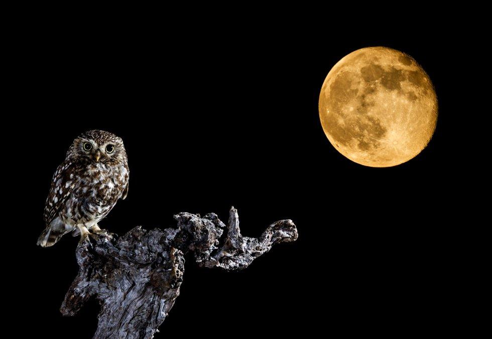 Uma coruja começa sua jornada com a s primeiras luzes da lua.