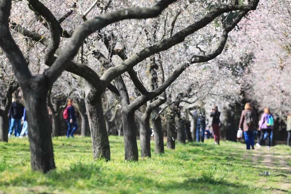 Fotos Almendros En Flor En La Quinta De Los Molinos De Madrid