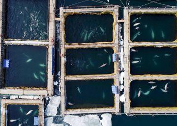 Rusia ordena la liberación de las ballenas 'encarceladas' en el lejano oriente
