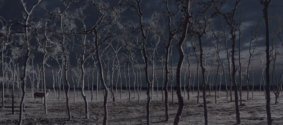 Uma gazela em um bosque de acácias.