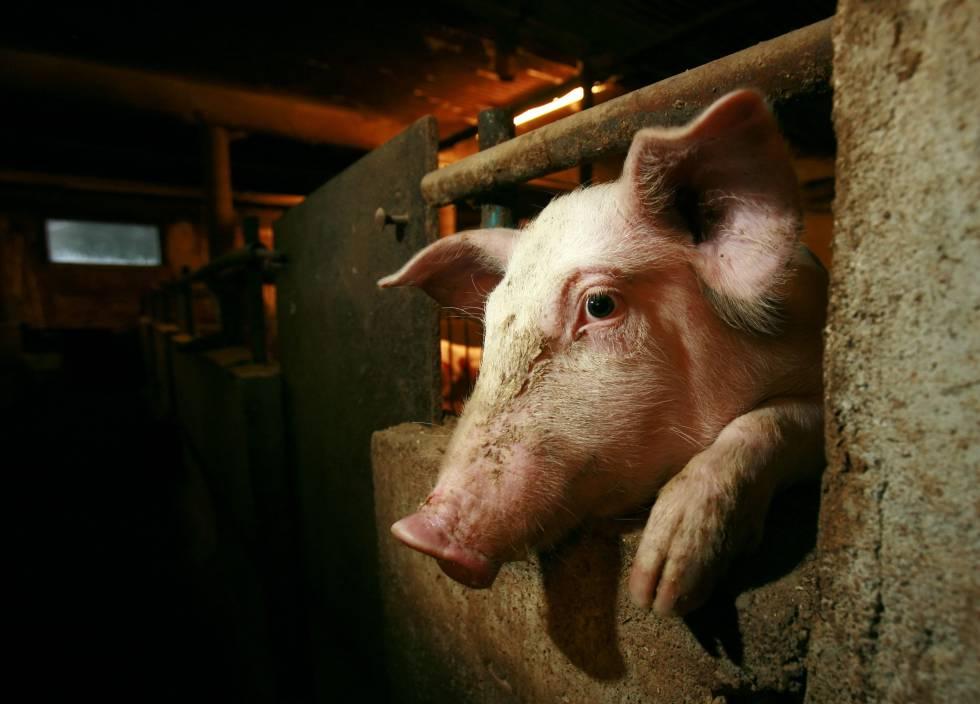 Preservadas algunas funciones celulares en cerebros de cerdos cuatro horas después de su muerte