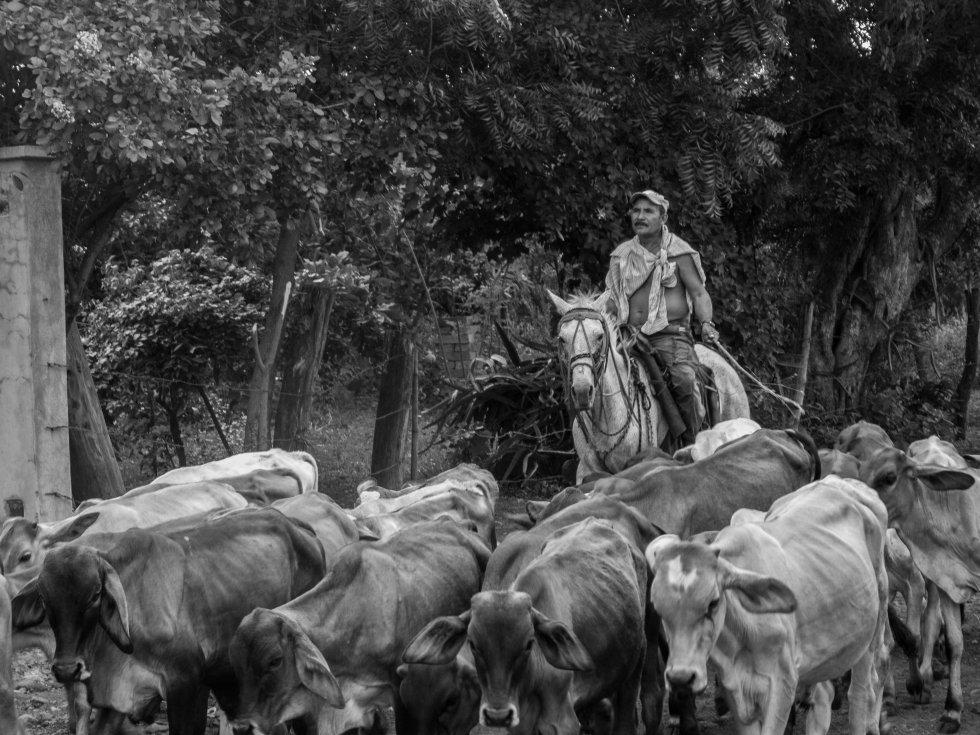 Ganadero a caballo guiando a sus vacas, en la comunidad de Potosí, Chinandega.