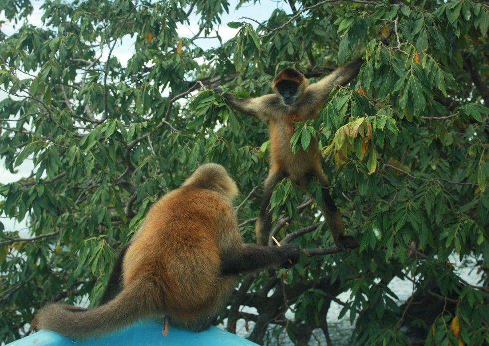 Las Isletas, también conocidas como 'las hijas del Mombacho' es un conjunto de cientos de islas que se formaron tras la erupción del volcán Mombacho, situado cerca de la ciudad del mismo nombre. Aquí se ven dos simios jugando en la llamada Isla de los Monos.