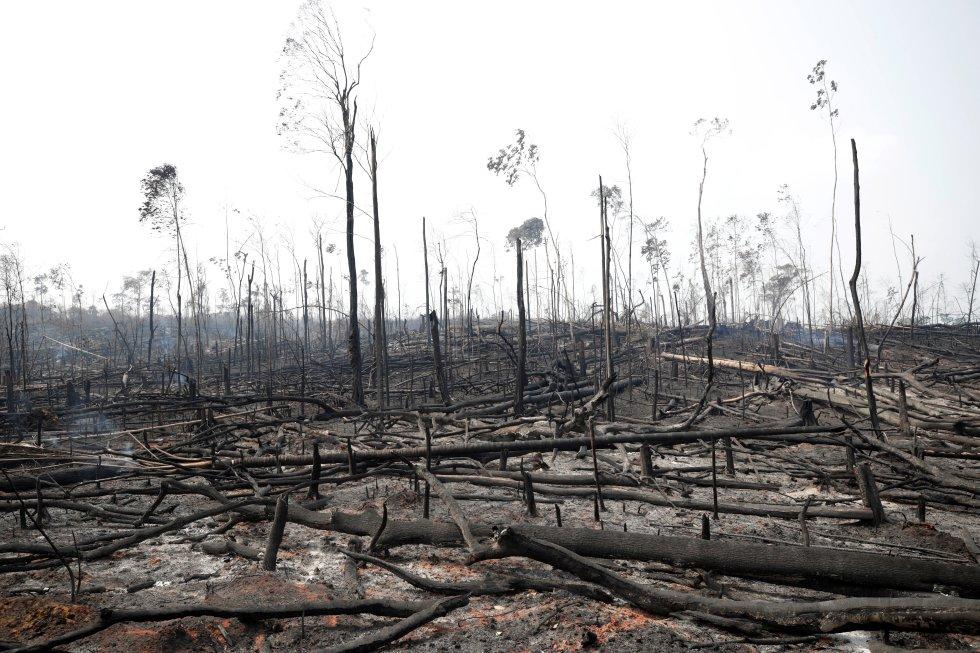 La selva amazónica alberga el 10% de todas las especies conocidas de animales y plantas y almacena 100.000 millones de toneladas de carbono, una cantidad 10 veces superior a la emitida cada año por el uso de combustibles fósiles, según los cálculos de la Universidad del Estado de Oregon (EE UU). Edwards advierte de que es una pescadilla que se muerde la cola. En la imagen, árboles calzinados de la selva amazónica en Porto Velho (Brazil), el 23 de agosto