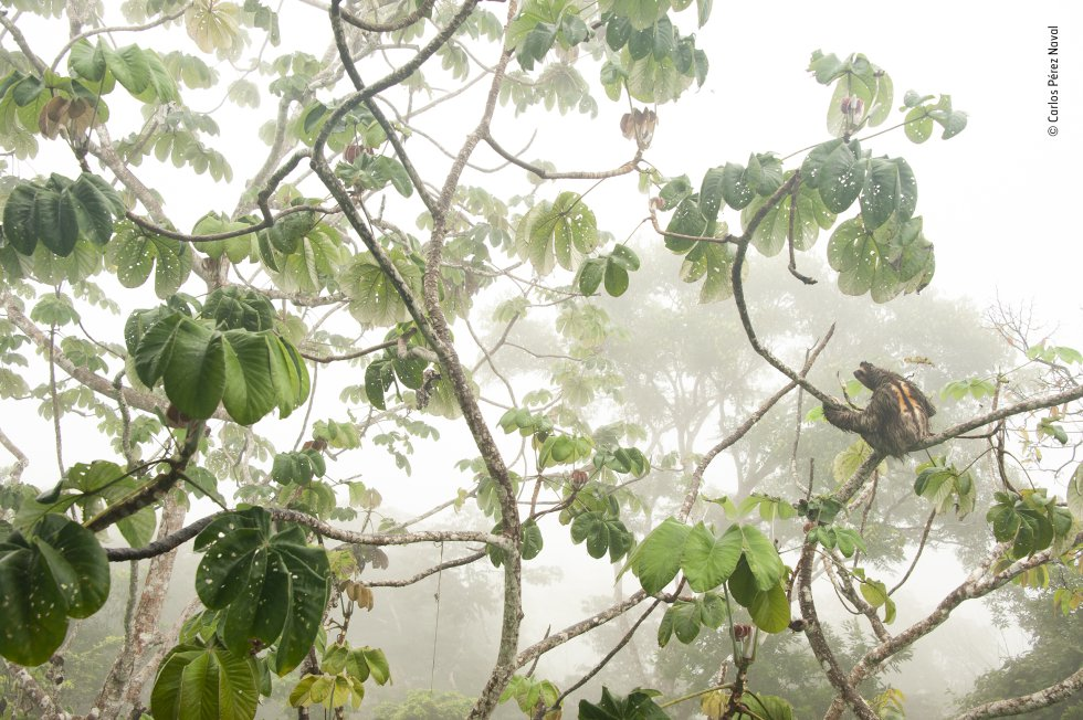 Un perezoso bayo ('Bradypus variegatus') reposa sobre un guarumo ('Cecropia peltata') en el Parque Nacional Soberanía de Panamá. Se pueden observar claramente sus características clave: las tres garras enganchadas a la rama, la raya en forma de máscara y su pelaje largo y áspero.