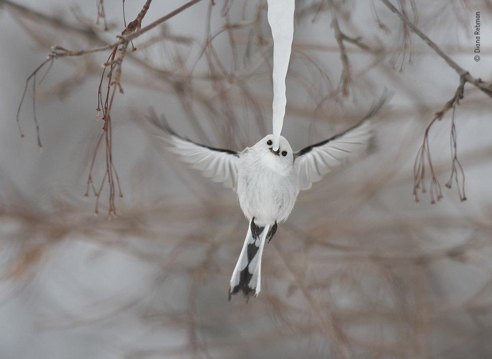 Un mito de cola larga ('Aegithalos caudatus') se detiene durante una fracción de segundo para mordisquear la punta de un largo carámbano en la isla Hokkaido (Japón).