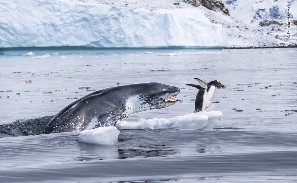 Un pingüino 'gentoo', el nadador subacuático más rápido de todos los pingüinos, huye para salvar su vida cuando una foca leopardo sale del agua. Las focas leopardo son depredadores formidables. Las hembras pueden medir 3,5 metros de largo y pesar más de 500 kilos. Sus cuerpos delgados están diseñados para la velocidad, con mandíbulas anchas con largos caninos y molares puntiagudos.