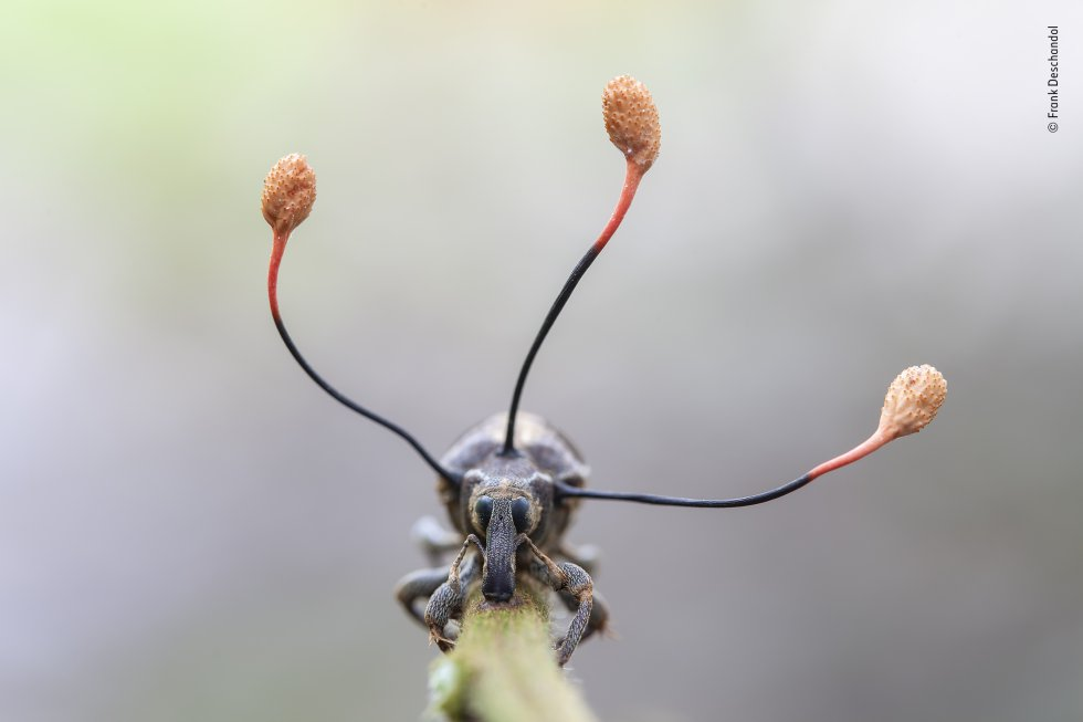 Un gorgojo de aspecto extraño yace muerto sobre una rama. Las tres proyecciones similares a antenas que crecen fuera de su tórax son los cuerpos fructíferos maduros de un hongo 'zombi'. El hongo parásito se extendió dentro del gorgojo mientras estaba vivo, tomando el control de sus músculos y obligándolo a trepar el tallo. Cuando estaba a una altura adecuada, para el hongo, las esporas se liberaron y el hongo se marchitó.