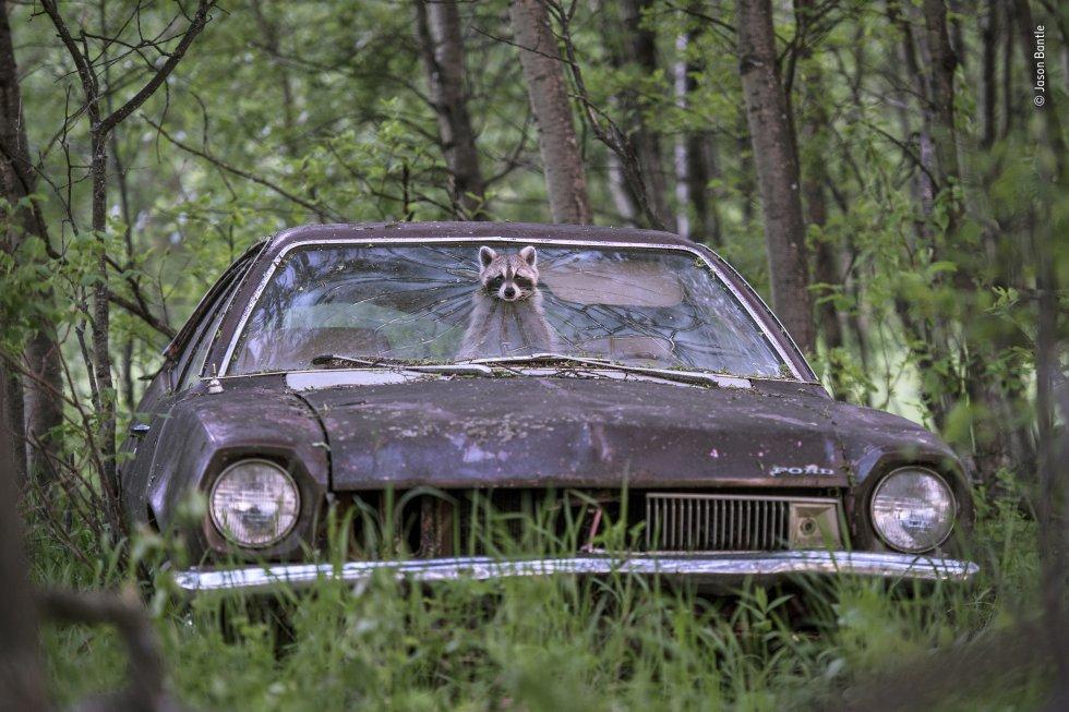 Un mapache asoma su rostro por la ventana de un Ford Pinto de la década de 1970, en una granja desierta en Saskatchewan (Canadá).