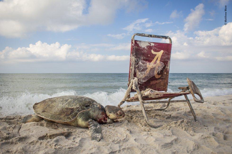 Una tortuga yace muerta en el Refugio Nacional de Vida Silvestre Bon Secour de Alabama (Estados Unidos) después de ser atada a una silla de playa con una cuerda. La tortuga lora ('Lepidochelys kempii') es una de las tortugas marinas más pequeñas con solo 65 centímetros de largo y se encuentra en peligro crítico de extinción.