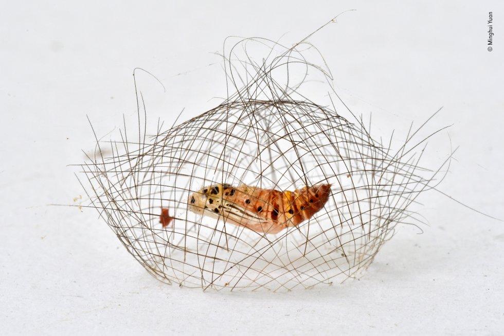 Capullo de una pupa Cynamoth adherido contra una pared en Xishuangbanna (China). La pupa tejió una delicada jaula de capullo de cuatro centímetros de largo con aspecto de cabellos. La jaula brinda protección contra los depredadores y, una vez dentro, la oruga escupe seda. La jaula tiene una abertura en cada extremo, desde las que la oruga expulsa su capa externa después de su muda final.