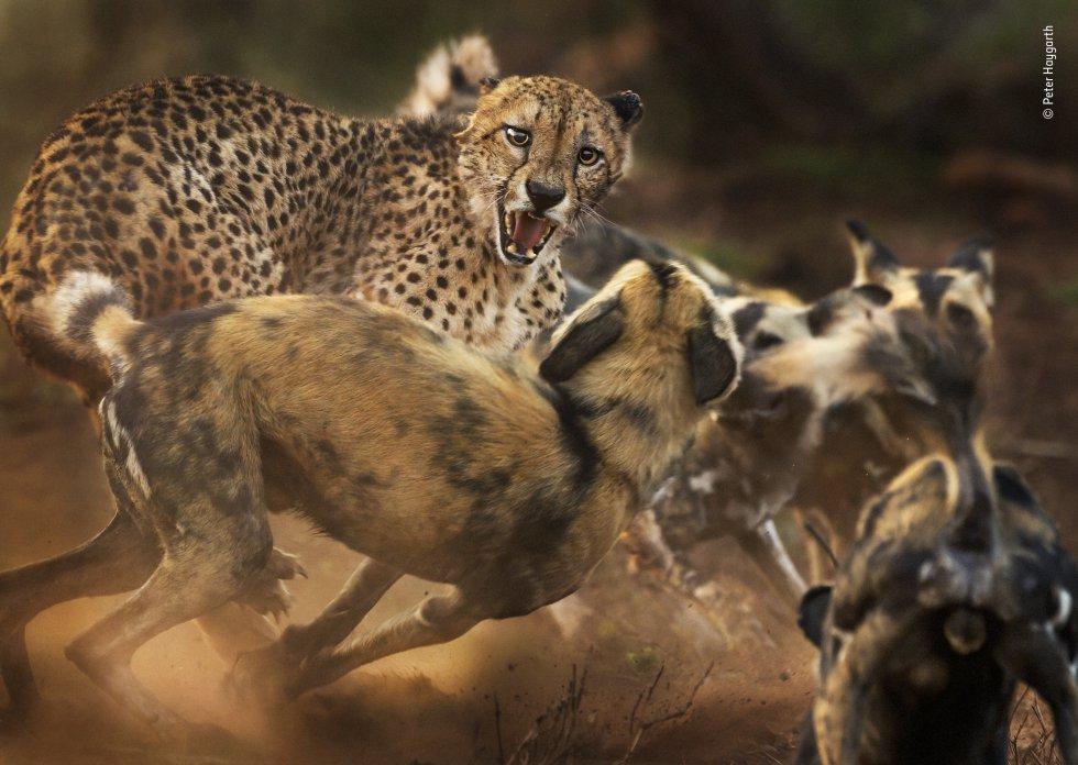 Un grupo de perros salvajes africanos ataca a un guepardo macho solitario. El autor, Peter Haygarth, había estado siguiendo a los perros mientras cazaban en la reserva de caza privada de Zimanga en KwaZulu-Natal (Sudáfrica). Al encontrarse por primera vez con el guepardo, los perros fueron cautelosos, pero cuando llegó el resto de la manada, su confianza creció y comenzaron a rodear al felino. La disputa terminó cuando el guepardo huyó.