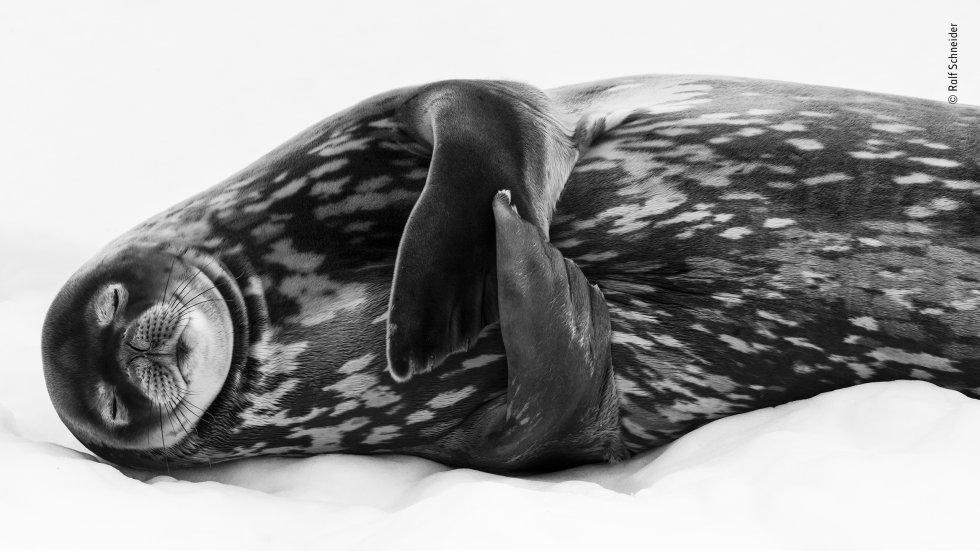 Una foca marina de Weddell ('Leptonychotes weddellii') descansa en lo que parece ser un sueño profundo, en el puerto de Larsen, Georgia del Sur (EE UU). Las focas de Weddell alcanzan longitudes de hasta 3,5 metros. Sus cuerpos están cubiertos de una capa de grasa para mantenerlos calientes por encima y por debajo de las aguas heladas del océano Antártico.