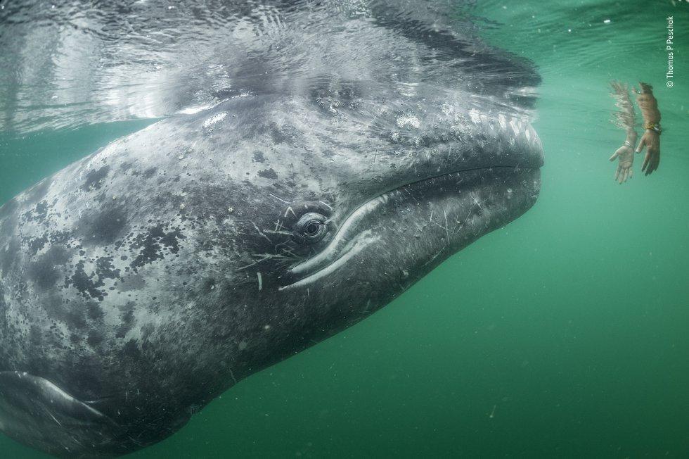 Una ballena gris joven se acerca a un par de manos que bajan desde un bote turístico en la laguna de San Ignacio, en la costa de Baja California, en México. Las pequeñas ballenas grises y sus madres buscan activamente contacto con las personas para rascarse la cabeza o frotarse la espalda.