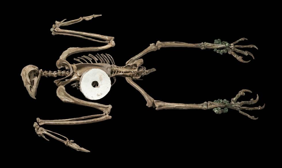 Águila hembra con un disco de oro. Los arqueólogos armaron el esqueleto a partir del hallazgo de una ofrenda en el Templo Mayor. La imagen fue presentada en un congreso de arqueología en Albuquerque (Nuevo México, Estados Unidos), en abril.