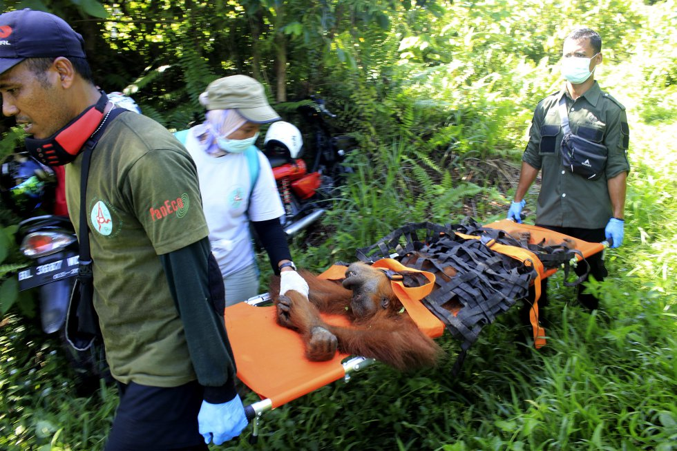 Um dos animais mais afetados pelo desmatamento na Ásia são os orangotangos, além de outras espécies como tigres, elefantes e rinocerontes. Nesta imagem, trabalhadores resgatam um orangotango de Sumatra de uma plantação de óleo de palma para entrar em uma área mais segura em Geulagang Gajah, na província de Aceh, na Indonésia, em 3 de agosto de 2018.
