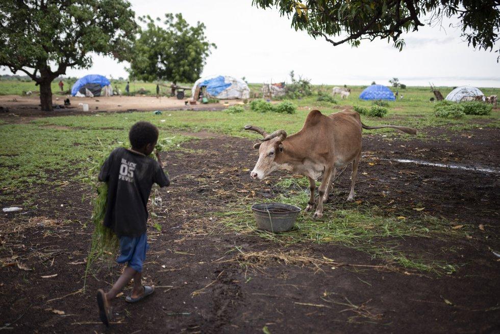 Tal y como hacen en sus comunidades, un niño da de comer a las vacas en el campo de desplazados de Banguetabá.