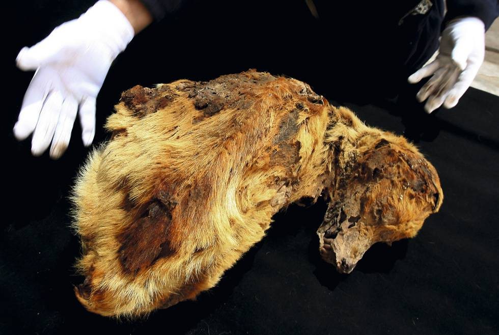 Las 43 momias de perros que descubrieron una especie precolombina