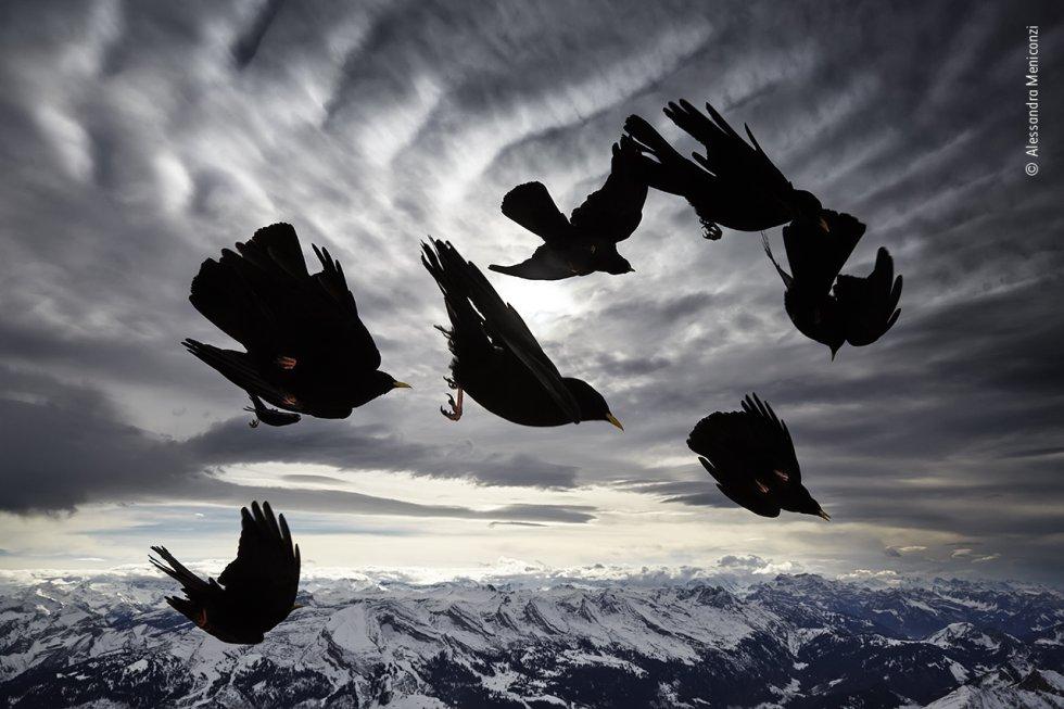 Chovas de pico amarillo sobrevuelan el macizo Alpstein, en los Alpes suizos. Estas aves gregarias de la montaña anidan en barrancos rocosos y acantilados, permaneciendo con sus parejas durante todo el año. Se alimentan principalmente de insectos en verano y de bayas, semillas y desperdicios de comida humana en invierno, hurgando audazmente en bandadas alrededor de las estaciones de esquí.
