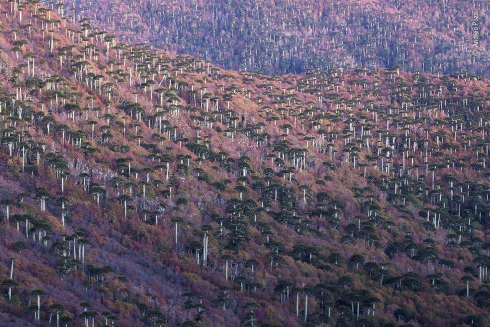 Bosque de araucarias en Chile.