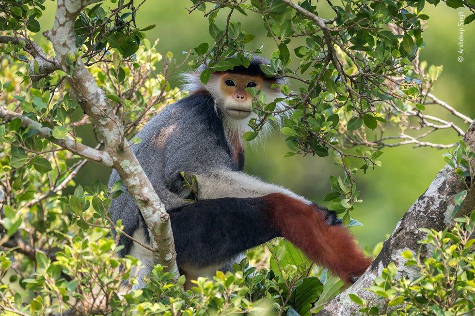 Un duc de patas rojas (una especie de primate catarrino multicolor), en peligro de extinción, fotografiado en la reserva natural de Son Tra, la última selva tropical costera de Vietnam y un baluarte del langur. El primate está amenazado por la pérdida de hábitat, la caza y el comercio.