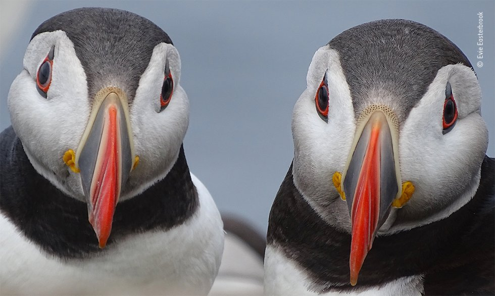 Un par de frailecillos atlánticos se detienen cerca de la madriguera de su nido, en las islas Farne, frente a la costa nororiental de Inglaterra. Cada primavera, estas pequeñas islas de Northumberland atraen a más de 100.000 parejas reproductoras de aves marinas.