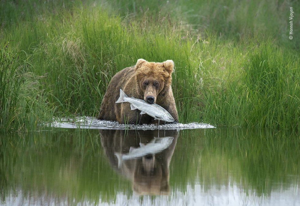Un oso pardo caza un salmón en un río en el Parque Nacional Katmai de Alaska (EE UU).