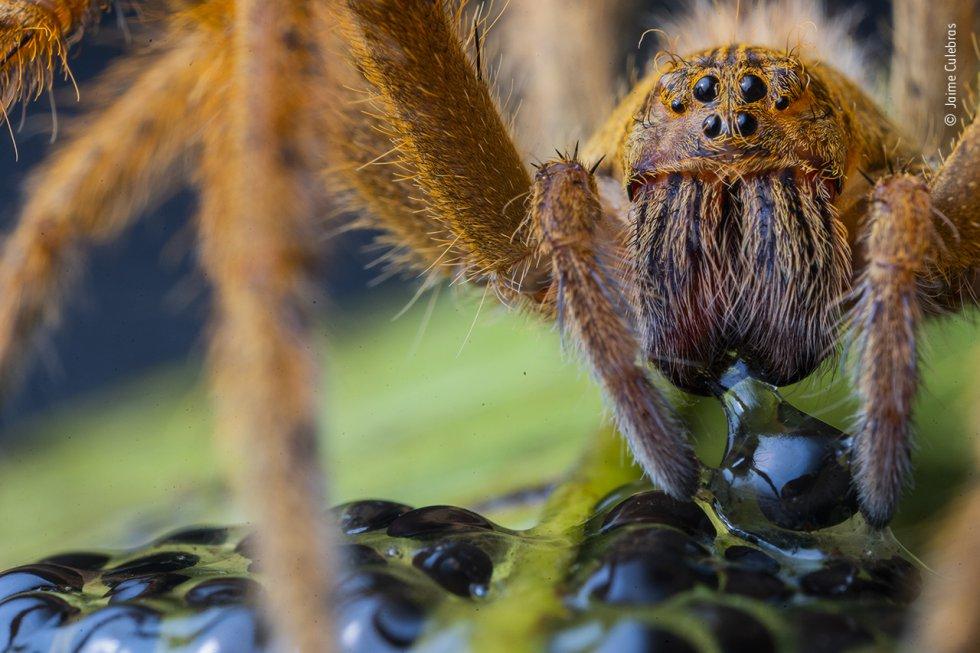 Una gran araña con colmillos negros perfora el huevo de una rana de cristal gigante.