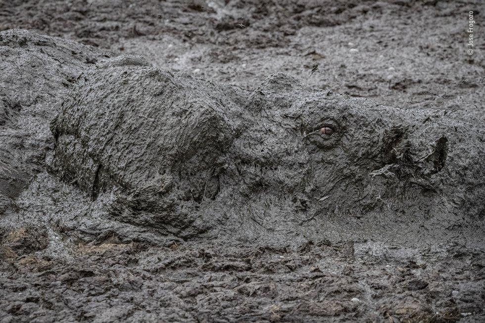 Un hipopótamo emerge sobre una piscina de barro para respirar, en una charca del río Mara, golpeado por la sequía, en la Reserva Nacional Maasai Mara (Kenia). Los hipopótamos se pasan el día sumergidos para mantener su temperatura constante y su piel sensible fuera del alcance del sol, y por la noche salen a pastar en las llanuras aluviales.
